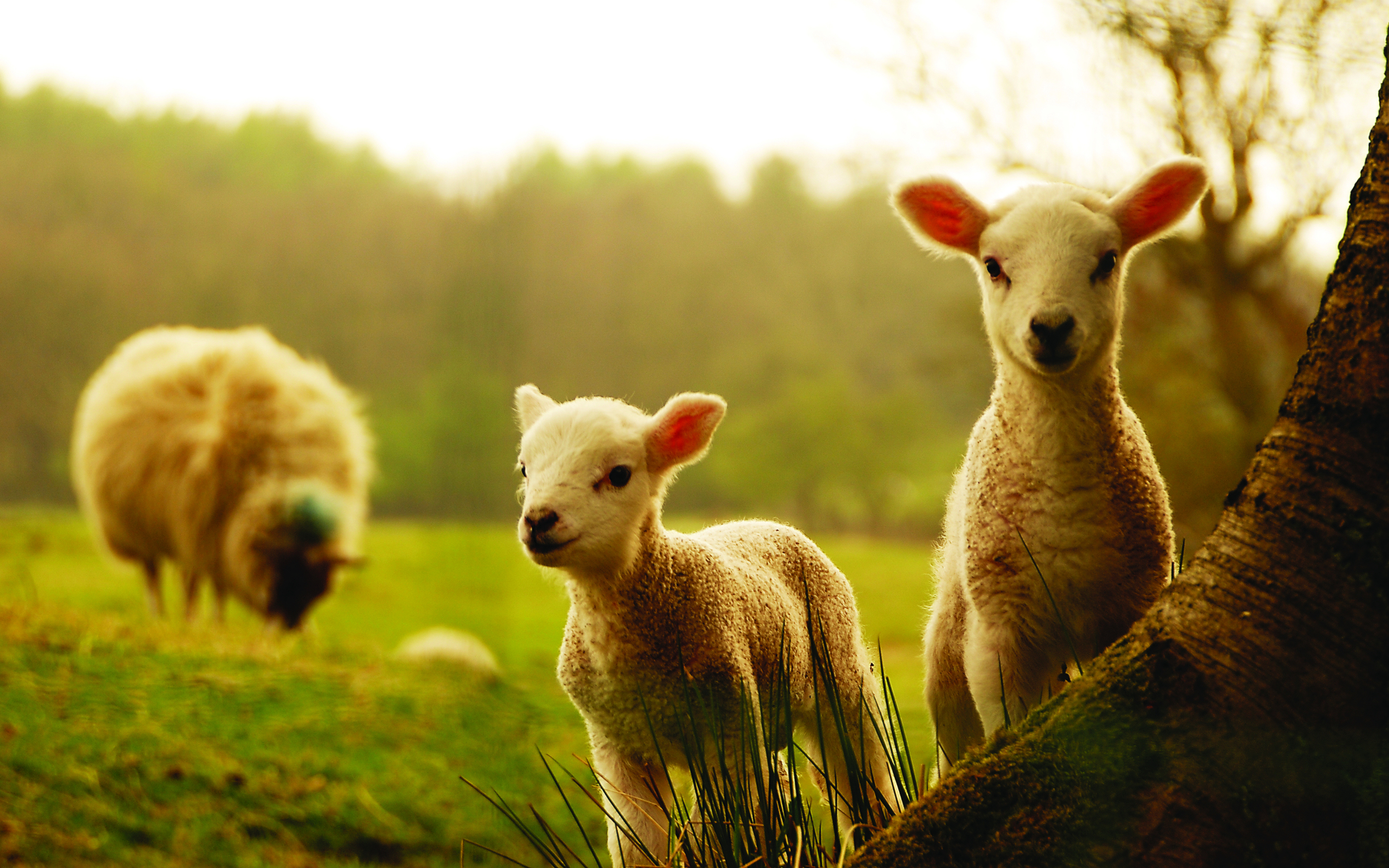 sheep-hd-wallpapers-of-high-resolution
